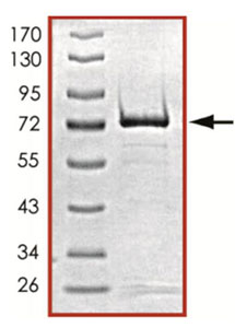SDS-PAGE - PRKX protein (Active) (ab125604)