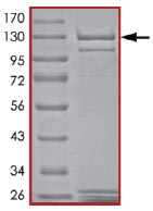 SDS-PAGE - PDE2A protein (Active) (ab125613)