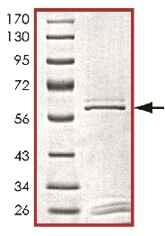 SDS-PAGE - PLK3 protein (ab125627)