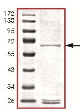 SDS-PAGE - MOS protein (ab125632)