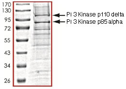 SDS-PAGE - PI 3 Kinase p110 delta protein (ab125633)
