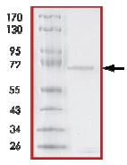 SDS-PAGE - SAPK3 protein (Active) (ab125651)