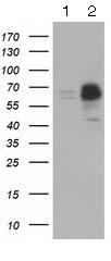 Western blot - Anti-PEX5 antibody [6E9] (ab125689)