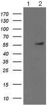 Western blot - Anti-p53 antibody [3D5] (ab125709)