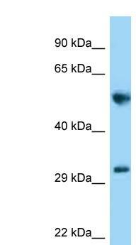 Western blot - Anti-MEMO1 antibody (ab125720)
