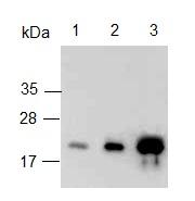 Western blot - Anti-BAFF Receptor antibody (ab125721)