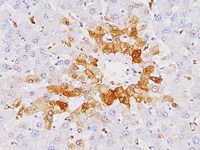 Immunohistochemistry (Formalin/PFA-fixed paraffin-embedded sections) - Anti-Glutamine Synthetase antibody [6/Glutamine Synthetase] (ab125724)