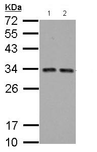 Western blot - Anti-TIP30 antibody (ab125726)