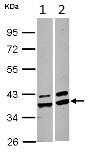 Western blot - Anti-AKR1A1 antibody (ab125878)