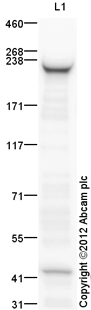 Western blot - Anti-smooth muscle Myosin heavy chain 11 antibody (ab125884)