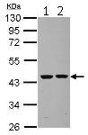 Western blot - Anti-Septin 2 antibody (ab125915)