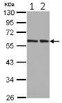 Western blot - Anti-hHR23b antibody (ab125918)