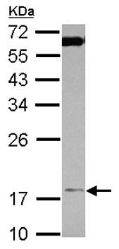 Western blot - Anti-TIMM17A antibody (ab126044)