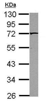Western blot - Anti-PAK4 antibody (ab126046)
