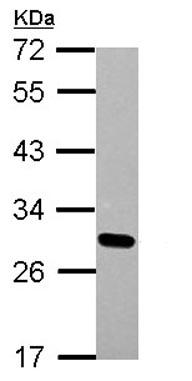 Western blot - Anti-Dlx1 antibody (ab126054)