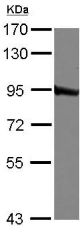 Western blot - Anti-QARS antibody (ab126076)