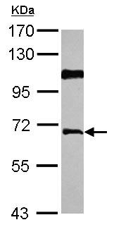 Western blot - Anti-AGFG1 antibody (ab126091)