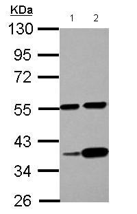 Western blot - Anti-LUZP4 antibody (ab126144)