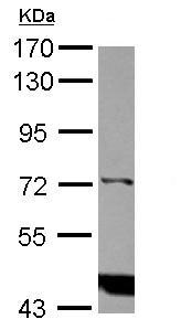 Western blot - Anti-IP3KC antibody (ab126146)