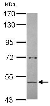 Western blot - Anti-AMY2B antibody (ab126161)