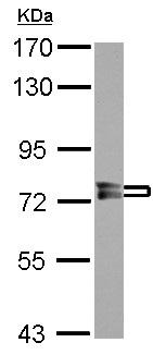 Western blot - Anti-PPEF1 antibody (ab126164)