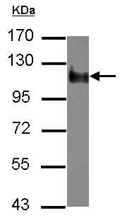 Western blot - Anti-NBR1 antibody (ab126175)