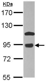 Western blot - Anti-COG7 antibody (ab126183)