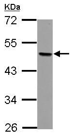 Western blot - Anti-AP2 beta antibody (ab126207)