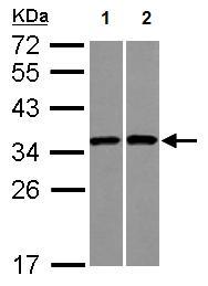 Western blot - Anti-RPS3A antibody (ab126211)