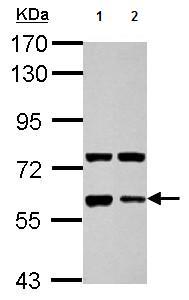 Western blot - Anti-Glypican 5 antibody (ab126214)