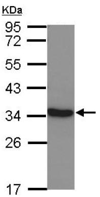 Western blot - Anti-Lactate Dehydrogenase C antibody (ab126220)