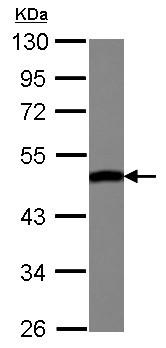Western blot - Anti-ENO3 antibody (ab126259)