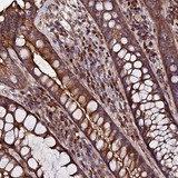 Immunohistochemistry (Formalin/PFA-fixed paraffin-embedded sections) - Anti-Ext1 antibody (ab126305)