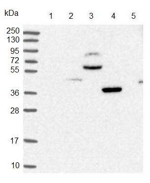 Western blot - Anti-C9orf173 antibody (ab126313)