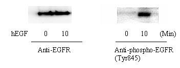 Western blot - EGFR (Tyr845) In-Cell ELISA Kit (ab126421)