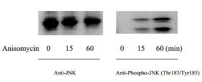 Western blot - JNK (Thr183/Tyr185) In-Cell ELISA Kit (ab126424)
