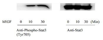 Western blot - STAT3 (Tyr705) In-Cell ELISA Kit (ab126427)