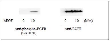 Western blot - EGFR (pS1070) Human ELISA Kit (ab126434)