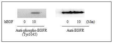 Western blot - EGFR (pY1045) + total EGFR Human ELISA Kit  (ab126437)
