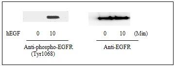 Western blot - EGFR (pY1068) Human ELISA Kit  (ab126438)
