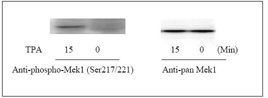 Western blot - Mek1 (pS217/221) ELISA Kit (ab126446)