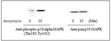 Western blot - p38 alpha (pT180/pY182) + total p38 alpha ELISA Kit (ab126453)