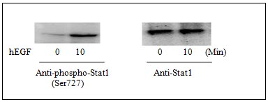 Western blot - STAT1 (pS727) ELISA Kit (ab126454)