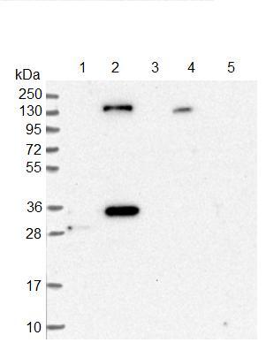 Western blot - Anti-StARD13 antibody (ab126489)