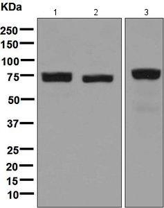 Western blot - Anti-LPP antibody [EPR6478] (ab126608)