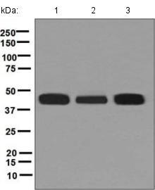 Western blot - Anti-HLA F antibody [EPR6803] (ab126624)