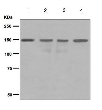 Western blot - Anti-p150 CAF1 antibody [EPR5576(2)] (ab126625)