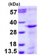 SDS-PAGE - Syntaxin 12 protein (His tag) (ab126666)