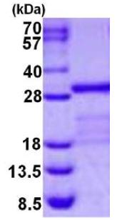 SDS-PAGE - Junctional Adhesion Molecule 1 protein (His tag) (ab126670)