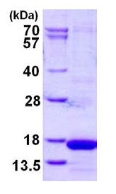 SDS-PAGE - Cystatin S protein (His tag) (ab126681)